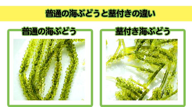 普通の海ぶどうと茎付き海ぶどうの違い